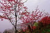 三峽賞櫻超級秘境B區:2015霧裡看花花還是花90