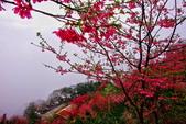 三峽賞櫻超級秘境B區:2015霧裡看花花還是花93