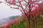 三峽賞櫻超級秘境B區:2015霧裡看花花還是花98