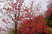 三峽賞櫻超級秘境B區:2015霧裡看花花還是花103