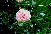 茶花之美:2013坪林粗石斛茶花園15