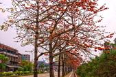 台中市---東勢區:2015東關路木棉花盛開2