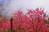 三峽賞櫻超級秘境B區:2015霧裡看花花還是花126