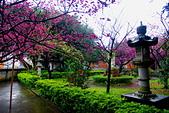 桃園市---楊梅區:回善寺櫻花美景7