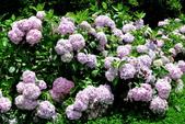 南投縣---竹山鎮:杉林溪藥花園繡球花季8