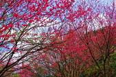三峽賞櫻超級秘境B區:2015霧裡看花花還是花26