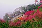 三峽賞櫻超級秘境B區:2015霧裡看花花還是花95