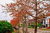 台中市---東勢區:2015東關路木棉花盛開20