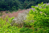三峽賞櫻超級秘境A區:2014三峽超級賞櫻秘境A區3
