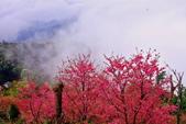 三峽賞櫻超級秘境B區:2015霧裡看花花還是花127