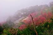 三峽賞櫻超級秘境B區:2015霧裡看花花還是花99
