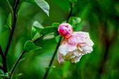 茶花之美:2013坪林粗石斛茶花園16