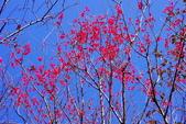 楊梅超級神秘櫻花林:2015年櫻花林隨拍13