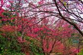 三峽賞櫻超級秘境B區:2015霧裡看花花還是花33