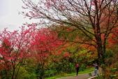 三峽賞櫻超級秘境B區:2015霧裡看花花還是花13
