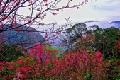 三峽賞櫻超級秘境B區:2015霧裡看花花還是花38