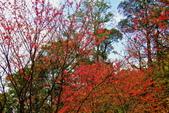 三峽賞櫻超級秘境B區:2015霧裡看花花還是花17
