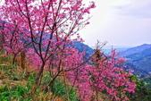 三峽賞櫻超級秘境A區:2015年開到爆炸美到翻83