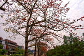 台中市---東勢區:2015東關路木棉花盛開3