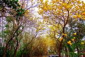 彰化縣---二水鄉:豐柏廣場2015黃花風鈴木盛開10