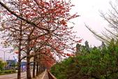 台中市---東勢區:2015東關路木棉花盛開1