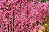 三峽賞櫻超級秘境A區:2015年開到爆炸美到翻119