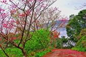 三峽賞櫻超級秘境B區:2015霧裡看花花還是花134