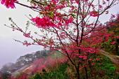 三峽賞櫻超級秘境B區:2015霧裡看花花還是花91