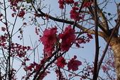 未分類相簿:櫻花開了