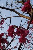 未分類相簿:櫻花開了...