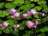 未分類相簿:Water lilies