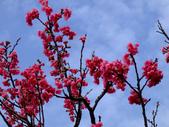 櫻花與茶花:DSCF4577.JPG