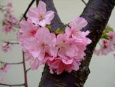 櫻花與茶花:DSCF455-0.JPG