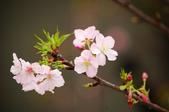 櫻花與茶花:DSC_7857.JPG