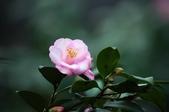 櫻花與茶花: