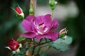 風花雪月:玫瑰