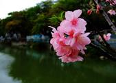 櫻花與茶花:DSCF4586.JPG