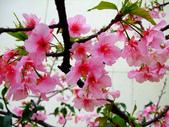櫻花與茶花:DSCF4566-0.JPG