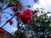 櫻花與茶花:DSCF4647.JPG