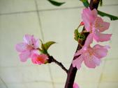 櫻花與茶花:DSCF4568-0.JPG