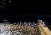 2014,月曆    photocap 6 製作:本種為不普遍的過境鳥,棲息於內陸近海岸的水田、廢魚塭、沼澤、河口環境,喜歡群聚生活04.png