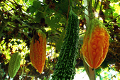whack 打造有機  無農藥菜園:本文引用來自whack攝於whack菜園..