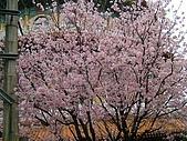 天元宮櫻花:DSCF1267