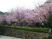 天元宮櫻花:DSCF1272