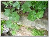 坡崁花草:小魚兒&坡崁花草 046