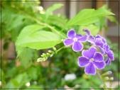 花花草草:蕾絲金露花