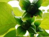 苗栗油桐花季:DSC01674.JPG