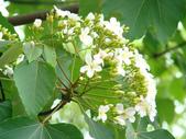 苗栗油桐花季:DSC01634.JPG