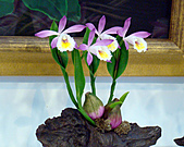 2011台灣國際蘭花展:DSC00981.JPG