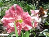 園藝:孤挺 - 初戀